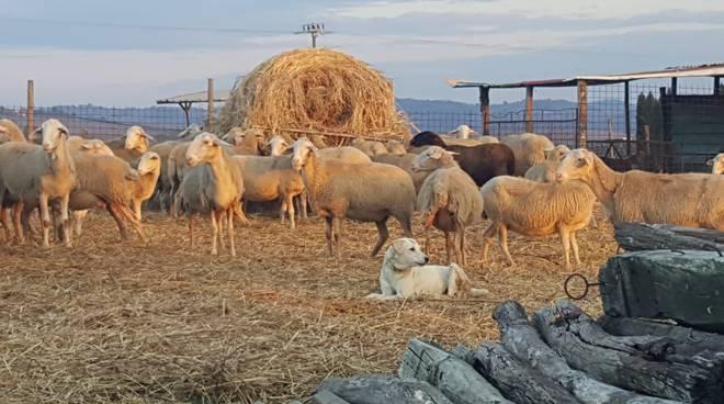 Pecore allevatori Coldiretti
