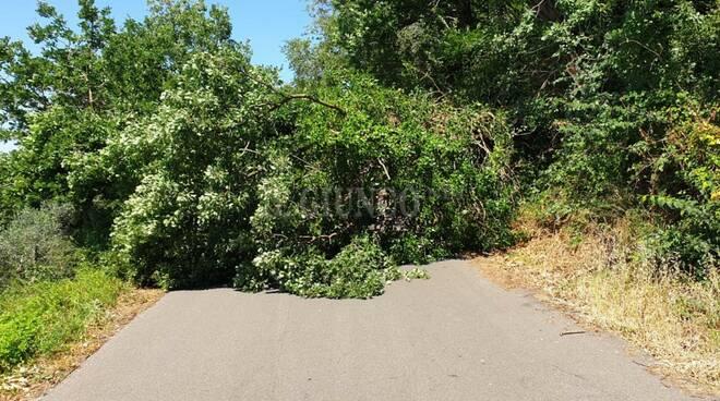 albero caduto sticciano