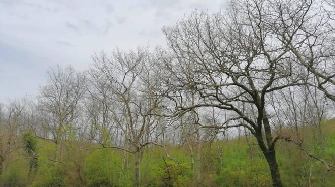 Montioni alberi spogli Lymantria
