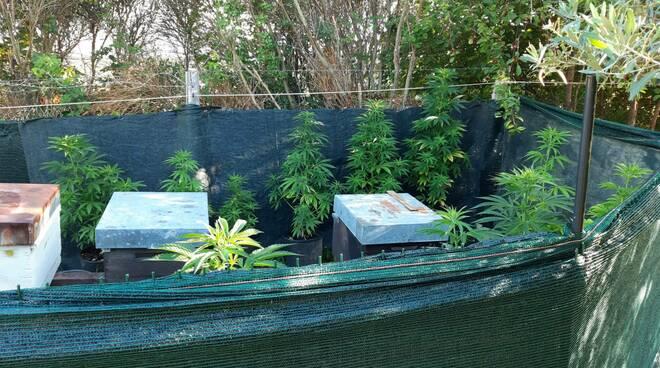 piantagione marijuana