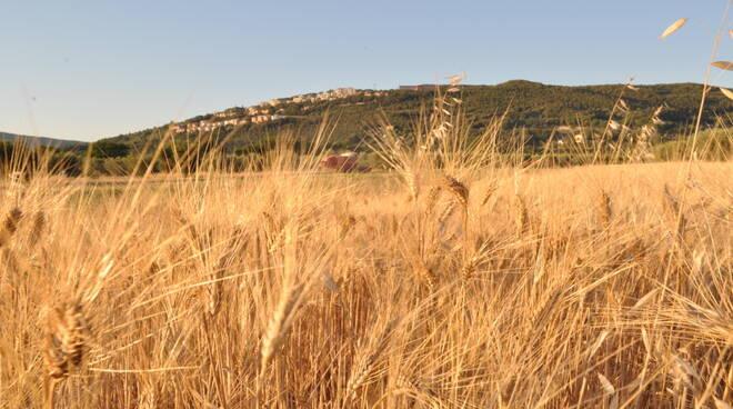 grano campo massa