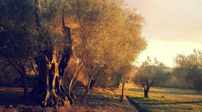 olivone millenaro