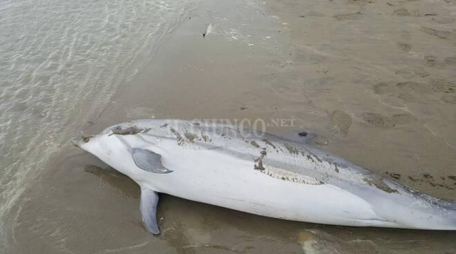 delfino spiaggiato 5 dicembre 2020