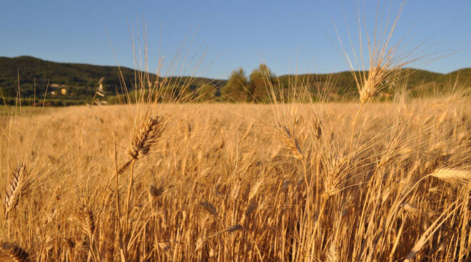 trebbiatura agricoltura granoParco Colline Metallifere