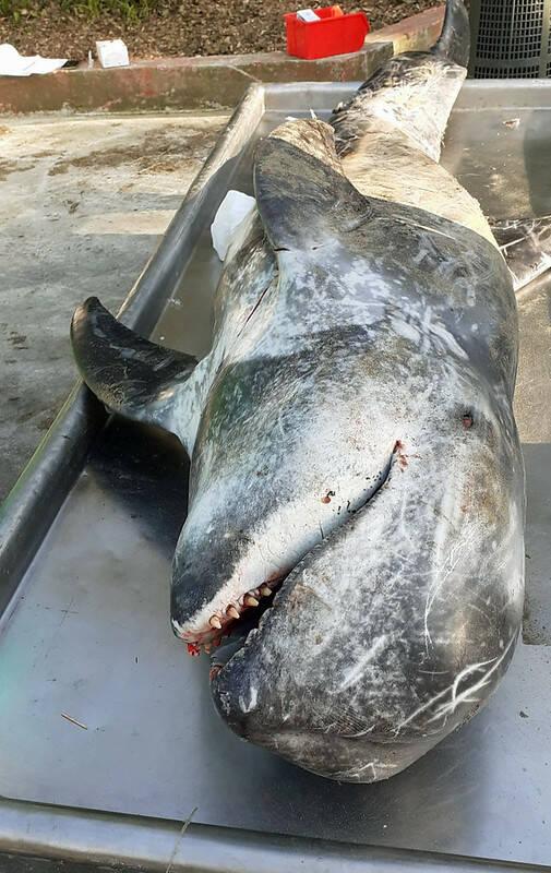 Delfino spiaggiato marzo 2021