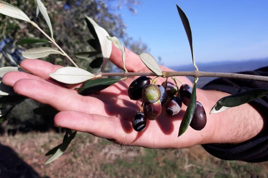 raccolta olive olio orti in carcere
