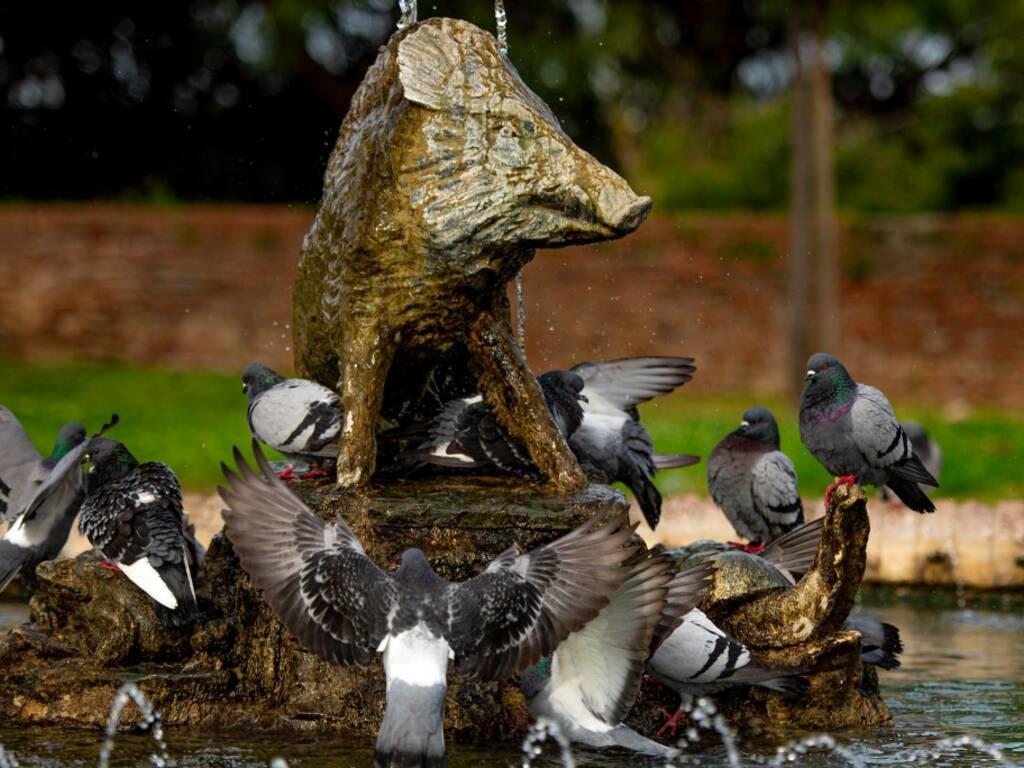 cinghialino e piccioni foto Roberto Malarby