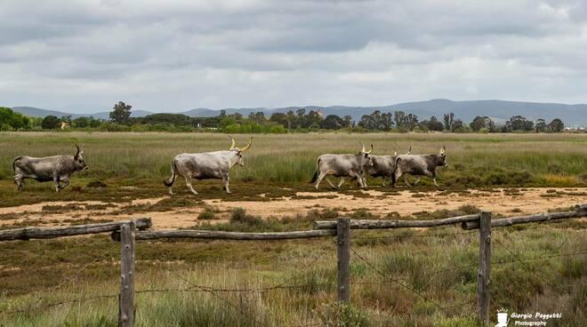 vacche maremmane nel padule