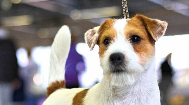 cane campione Rio jack russel